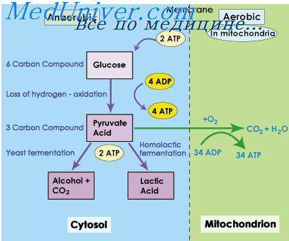 Анаеробний шлях отримання глюкози. Киснева заборгованість