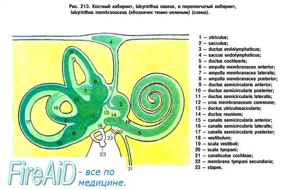 анатомія черепа ембріона