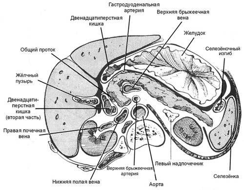 Топографічна анатомія підшлункової залози