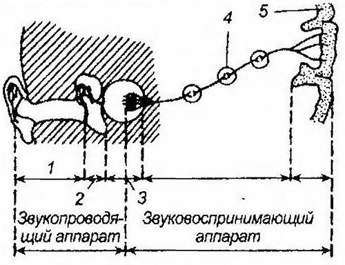 Схема звукопроводящего і звуковоспринимающего апаратів