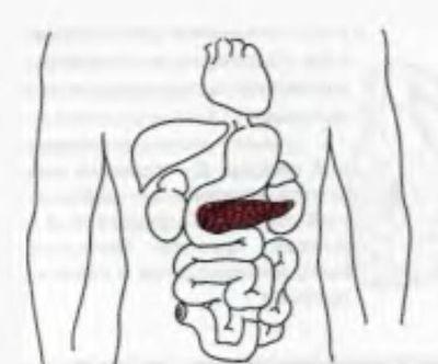 Проекція підшлункової залози на передню стінку живота