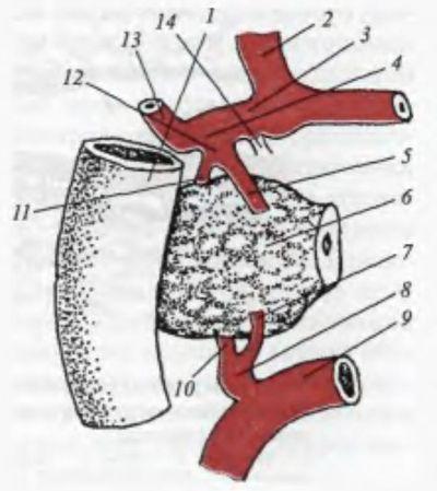Кровопостачання головки підшлункової залози (схема)