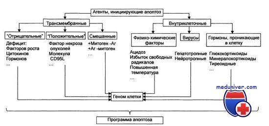 Фактори що впливають на апоптоз клітин у людини