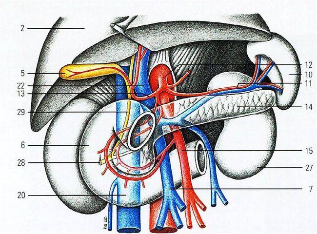 Артерії підшлункової залози
