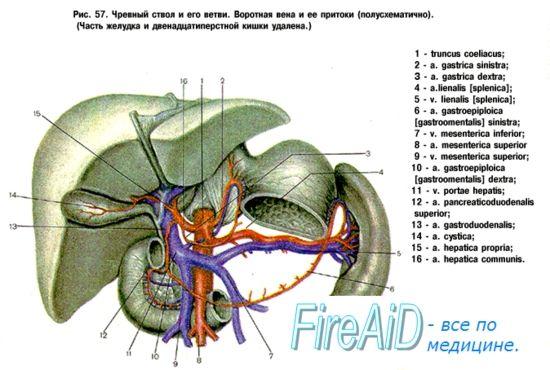 Гілки черевної частини аорти. Непарні вісцеральні гілки: черевний стовбур (truncus coeliacus).