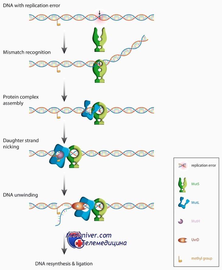 Білки сімейства mutl, muts і cdk в розвитку ооцитів. Мутації