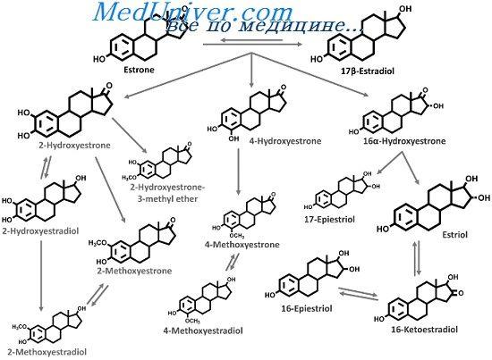 Біоінтез і обмін естрогенів. Продукція естрадіолу