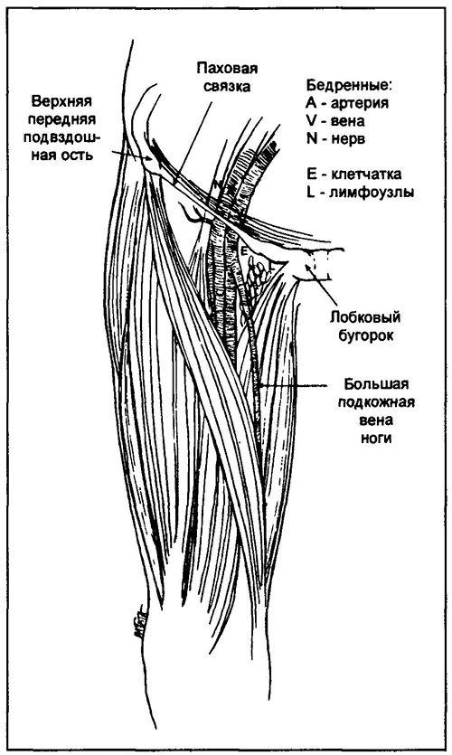 Пропальпіруйте пульс на стегновій артерії в точці в центрі уявного відрізка між верхньої передньої клубової остю і лобковим зчленуванням. Стегнова вена йде паралельно і медіальніше артерії