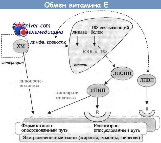 Фізіологія обміну вітаміну е і його ефекти