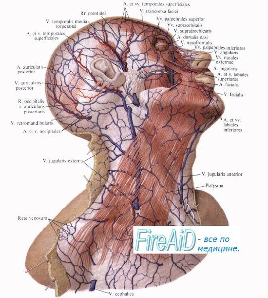 Кровопостачання cлюной залози (слинні залози). Кровопостачання підшлункової залози. Регуляція кровотоку в судинах залоз.
