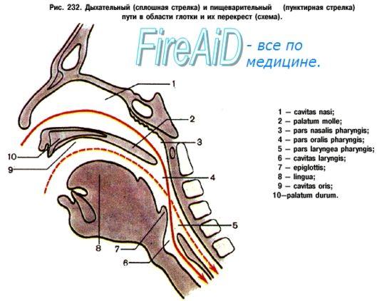 Дихання. Дихальна система. Функції дихальної системи.
