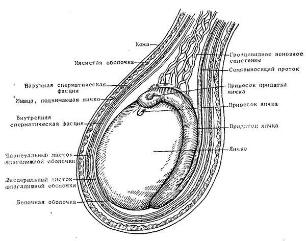 Анатомічна будова мошонки