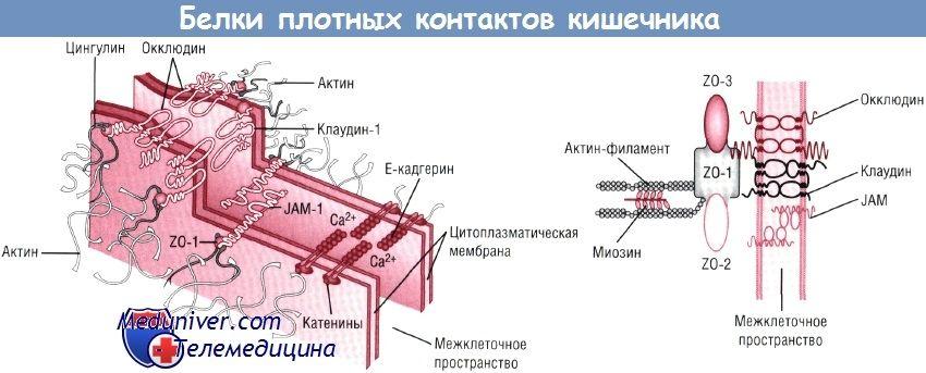 Щільні контакти кишечника будова, структура