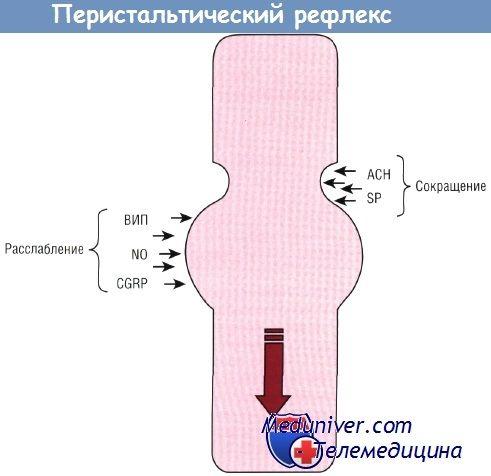 Регуляція перистальтических рефлексів