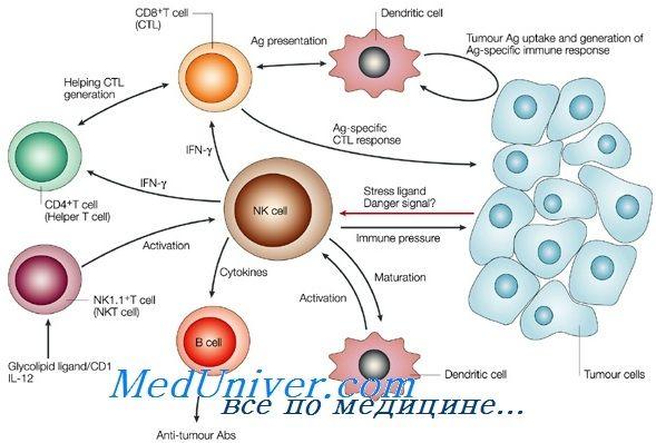 Формування nk-клітин імунітету плода. Функції т-лімфоцитів імунітету