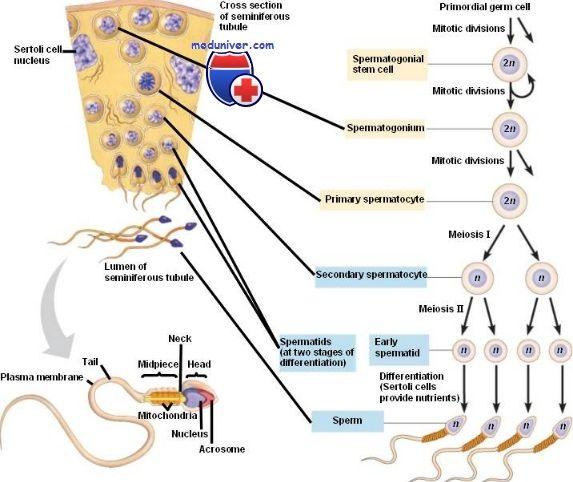 Формування сперматозоїдів. Сперматоцітогенез і спермиогенез