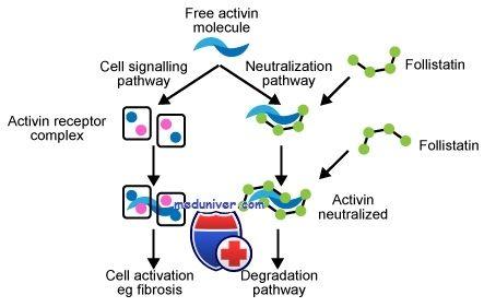 Функції фоллістатіна. Вплив на синтез статевих гормонів