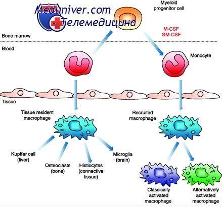 Функції та значення макрофагів