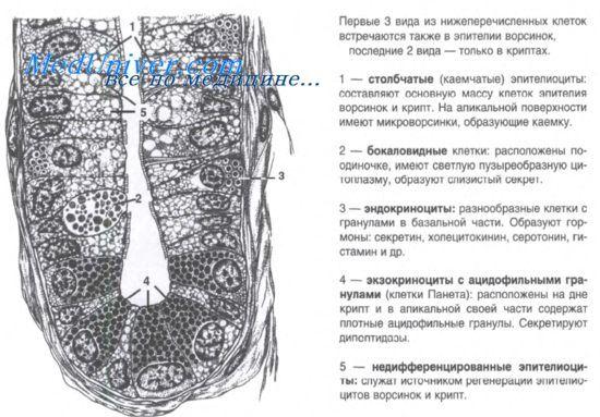 Формування тонкої кишки у плода ембріогенез, морфогенез