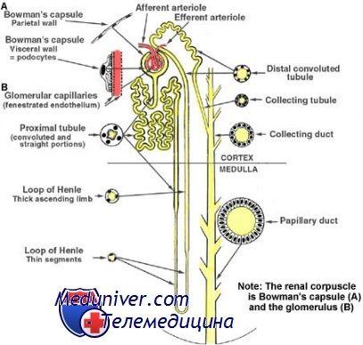 Функція канальців нирок. Канальцева фільтрація