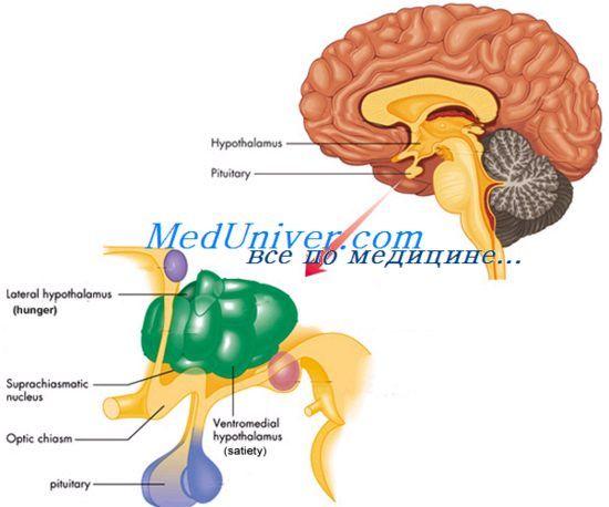 Роль гіпокампу в навчанні. Функції мигдалини