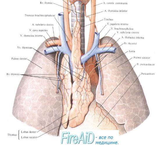 Механорецептори. Механорецепторних контроль дихання. Рецептори легень. Рецептори реулірующіе дихання.