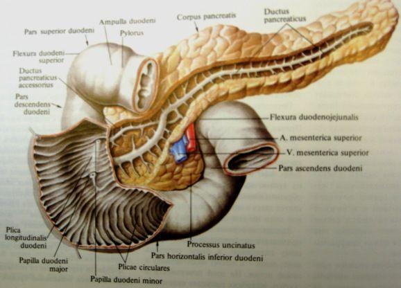 Підшлункова залоза - біологія