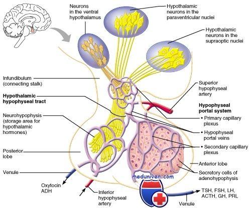 Гормони гіпофіза. Передня частка