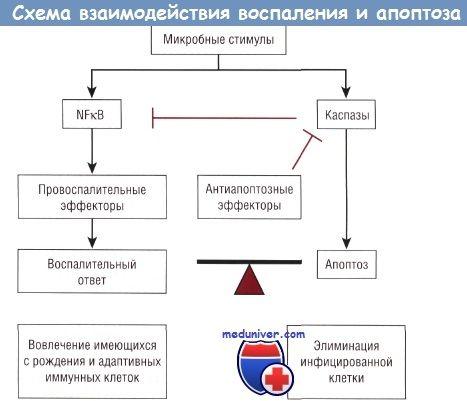 Схема взаємодії прозапальних і проапоптозних шляхів