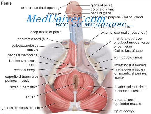 статеві функції чоловічого організму