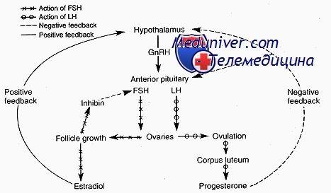 Яєчник як ендокринний орган. Двоклітинного теорія