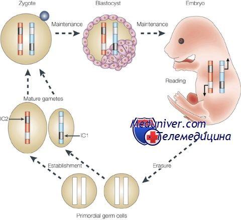 Епігенетична регуляція ооцита. Геномної імпрінтінг