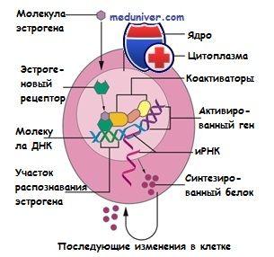 Естрогеновий рецептор. Будова і функція