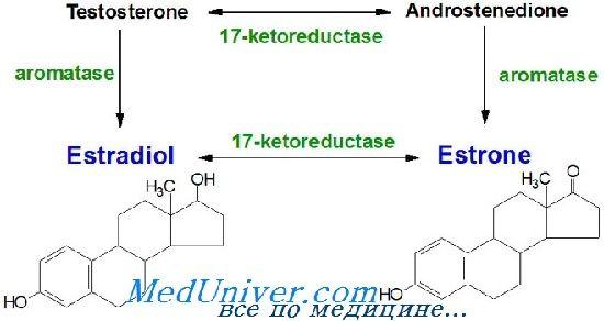 Естрогени синтез, метаболізм. Естрогенових рецепторів