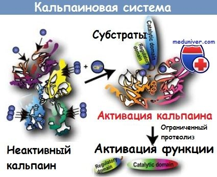 Кальпаіновая система розщеплення білка