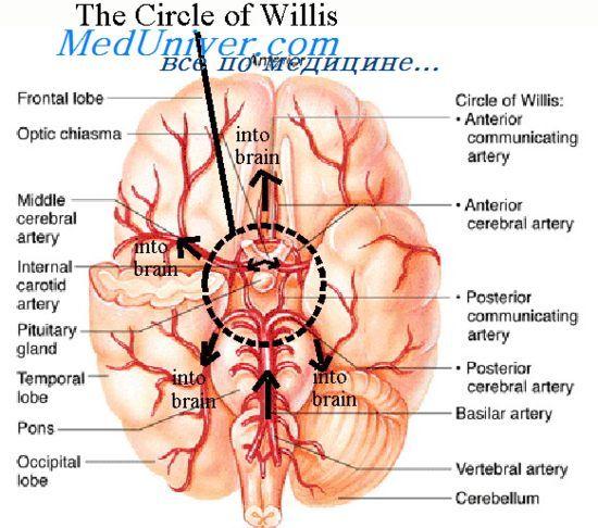 Регуляція мозкового кровотоку. Саморегуляція мозкового кровотоку