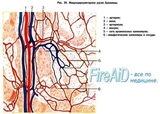 Мікроциркуляція (мікрогемодінамікі). Проникність капілярів. Стінки капілярів. Типи капілярів.
