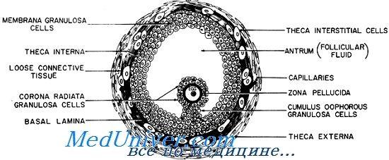 Клітини яйценосного горбка променистий вінець фолікула. Коннексін і щілинні контакти