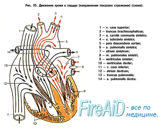 Кровопостачання легенів. Мале коло кровообігу. Інтенсивність кровотоку в судинах легкого. Миогенная, гуморальна регуляція кровотоку в легеневих судинах.