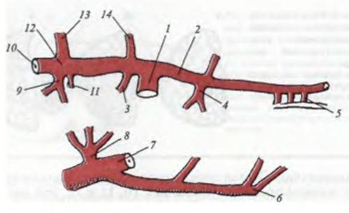 Схема кровопостачання підшлункової залози