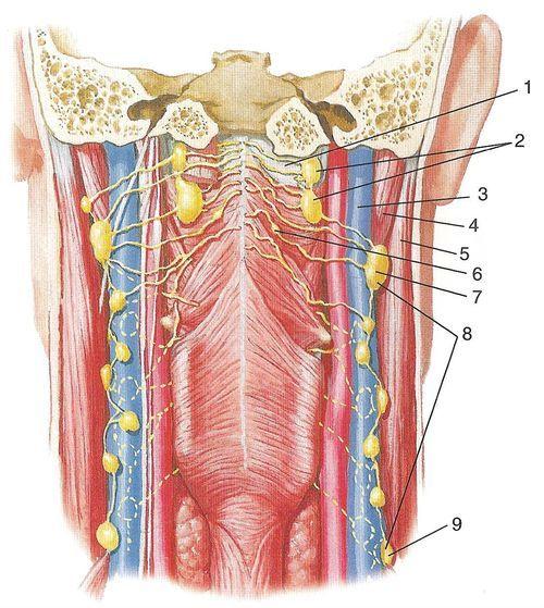 Лімфатичні судини шиї