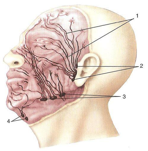 Шляхи відтоку лімфи від поверхневих утворень особи