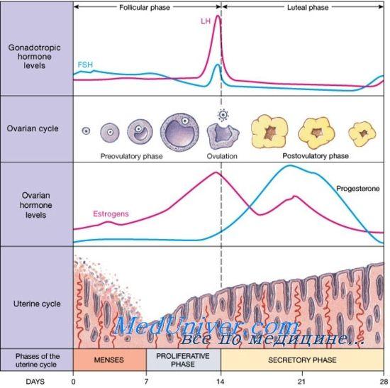 Лютеиновая фаза менструального циклу. Регуляція