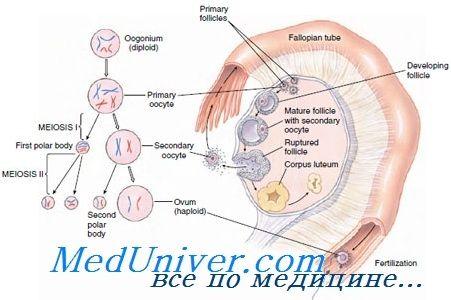Механізми затримки і відновлення мейозу в ооциті