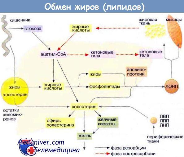 Обмін жирів (ліпідів)