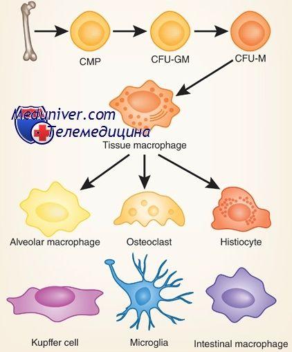Мононуклеари: моноцити і макрофаги