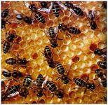 Чи можна їсти мед при панкреатиті (хвороби підшлункової залози)?