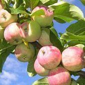 Яблука при гастриті можна