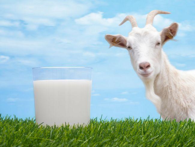 Лікування панкреатиту козячим молоком