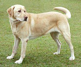 Некроз підшлункової залози у собак - панкреонекроз
